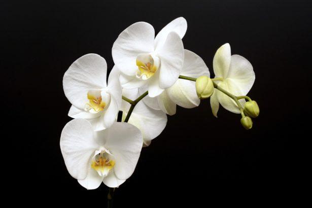L'orchidée pour la Fête des Mères